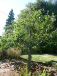 Our great apple tree